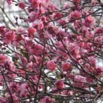 八重でピンクのウメの花 2015.2.23 栃木県小山市
