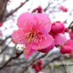 ピンクがかわいい感じのウメ 2015.2.23 栃木県小山市