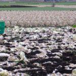 収穫すすむ白菜畑 2015.2.26 栃木県小山市