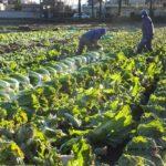 有名ブランド「霜降り白菜」収穫風景 2015.2.27 栃木県小山市