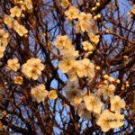 満開近いウメ  2015.2.28 栃木県小山市