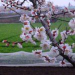 すでに散りはじめのウメ 2015.3.8 栃木県小山市