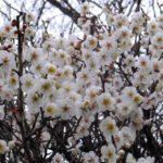 満員電車のように咲くウメ 2015.3.9 栃木県小山市