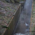 カワセミとコサギの珍しいツーショット 2015.1.25 栃木県小山市
