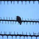 鳥よけ電線にへっちゃらで止まるムクドリ 2015.1.28 栃木県小山市