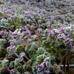 霜のなかでも頑張って咲くホトケノザ 2015.2.4 栃木県小山市