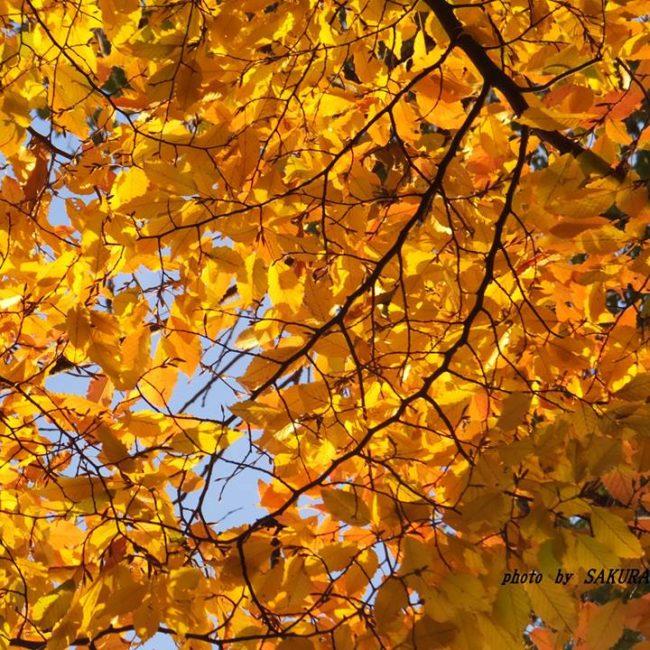 ケヤキの黄葉 2014.11.25