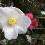 冬が近づくと咲く白いツバキ 2014.11.30 栃木県小山市