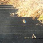 せっかく日なたに出たのに遠すぎたカワセミ 2014.12.14 栃木県小山市