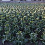 よく冷えて霜の降りたはくさい畑 2014.12.19 栃木県小山市