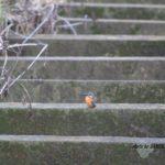 暗いうちにしか会えないカワセミ 2014.12.21 栃木県小山市