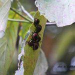 ミズキの葉裏にいたアカスジキンカメムシ幼虫 2014.10.2 栃木県小山市