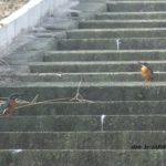 一羽しかいないと思ってたら夫婦かもしれないカワセミ2羽 2014.10.3 栃木県小山市