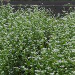 一面に咲く白いソバの花 2014.10.5 栃木県小山市