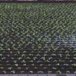 台風去っても水がはけないハクサイ畑 2014.10.7 栃木県小山市