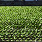 緑色に輝く台風一過のウチの前のハクサイ畑 2014.10.14 栃木県小山市
