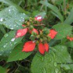 花かと思ったら葉が赤いショウジョウソウ 2014.10.16 栃木県小山市