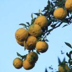 ユズの果実がなりました ひとんちのですが・・・  2014.10.21 栃木県小山市