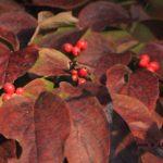 秋が深まるハナミズキの紅葉と果実 2014.10.26 栃木県小山市