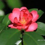 いろんな色のサザンカ咲き始めた、今日は赤 2014.10.28 栃木県小山市