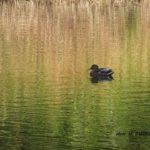 どんどん変わる池の水面で変わらないマガモメス 2014.10.30 栃木県小山市
