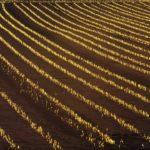 黄金に輝くビール麦の芽出し 2014.11.7 栃木県小山市