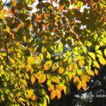 ちょっと早めのハナミズキ黄葉 2014.9.22 栃木県小山市