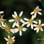 花びら落ちて歯抜け状態のような花 シラヤマギク 2014.9.28 栃木県小山市