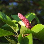 ハクモクレンの果実は紫色って、知ってた? 2014.9.29 栃木県小山市