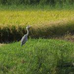 稲刈り始まった田んぼにたたずむアオサギ 2014.9.3 栃木県小山市