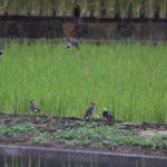 稲刈り後の田んぼに群れるムクドリ 2014.9.20