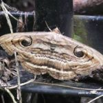 ハグルマトモエと似ているけど違うオスグロトモエメス 2014.8.15 栃木県小山市
