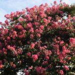 花の少ない真夏に咲くサルスベリ 2014.8.19 栃木県小山市