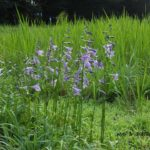 まるで高層湿原で咲いてるようなコバノギボウシ 2014.7.31 栃木県小山市