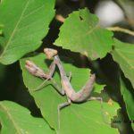 お腹を持ち上げてジッとこっち見るコカマキリ 幼虫 2014.8.9 栃木県小山市