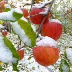 訳ありだけど、おいしい信州山ノ内産ふじりんごのおすそわけ(通販)