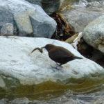 長野県山ノ内町夜間瀬川の流れと野鳥動画 スズメ、カワガラス、カワウ、ダイサギ、セグロセキレイ