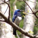 長野県山ノ内町湯田中の野鳥 49:オオルリ Blue-and-White Flycatcher,Cyanoptila cyanomelana