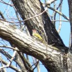 長野県(信州)山ノ内町で見られた野鳥 21 アオゲラ Japanede Green Woodpecker