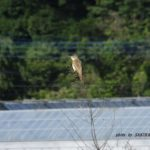 今朝の散歩中に出会った鳥:オオヨシキリ 2014.6.13 栃木県小山市