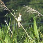 今朝の散歩中に出会った鳥:オオヨシキリ 2014.6.15 栃木県小山市