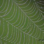 今朝の散歩中に出会った風景:クモの糸についた霧 2014.5.2 栃木県小山市