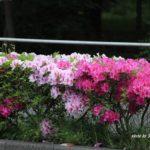 今朝の散歩中に出会った花:ツツジロード 2014.5.6 栃木県小山市