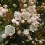 今朝の散歩中に出会った花:金平糖=カルミア 2014.5.13 栃木県小山市