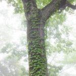今朝の散歩中に出会った新緑:つた 2014.5.14 栃木県小山市