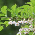 今朝の散歩中に出会った花:エゴノキ 2014.5.16 栃木県小山市