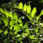 今朝の散歩中に出会った花:アマドコロの緑  2014.5.17 栃木県小山市
