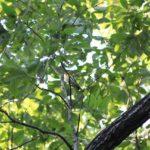 今朝の散歩中に出会った鳥:キビタキ 2014.5.17 栃木県小山市