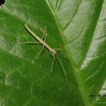 今朝の散歩中に出会った昆虫:ナナフシ幼虫 2014.5.17 栃木県小山市