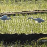 今朝の散歩中に出会った鳥:ダイサギ 2014.5.18 栃木県小山市